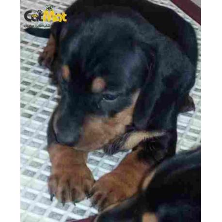 سگ داشهوند نر و ماده دو ماهه