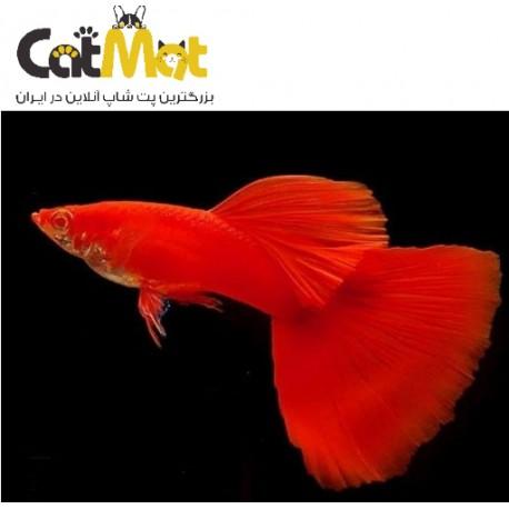 ماهی گوپی فول رد